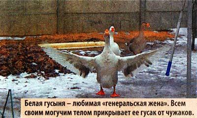 Жили три гуся