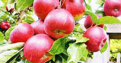 Подкармливаем яблони золой