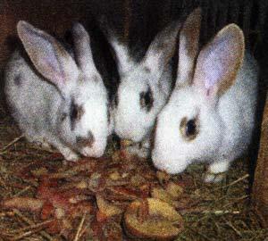 кормежке кроликов