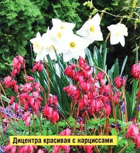 дицентры теневыносливые растения