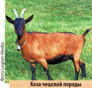 чешские козы