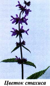 цветение стахиса