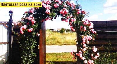 арки с плетистой розой