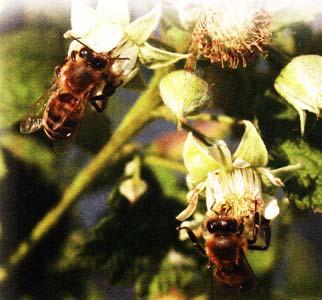 Малиновый мед