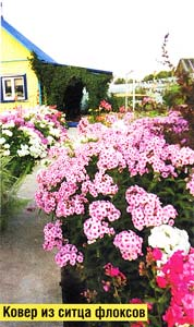 цветения флоксов