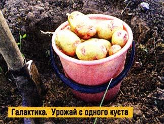 выращиваю картофель