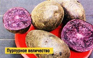 сорта с фиолетовой мякотью