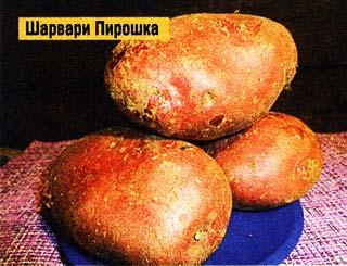 картофельные кусты