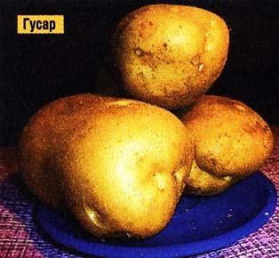 картофель выращивают