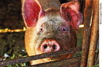 дезинфекцией в свинарнике