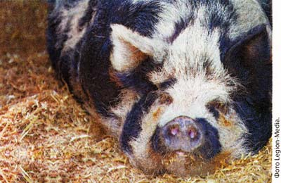потребности свиней в подстилке