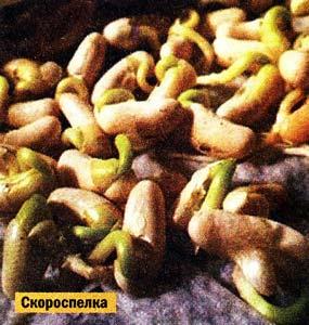 урожайную фасоль